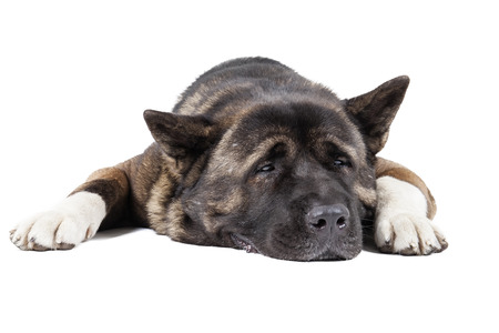 American Akita (Great Japanese dog) on a white background