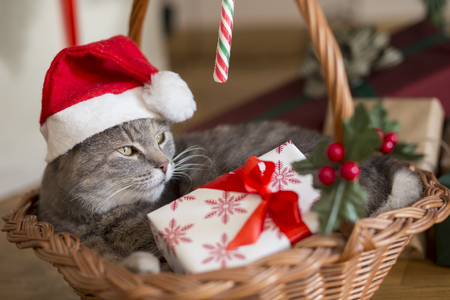 Beautiful tabby cat wearing Santa\'s hat, lying in a basket underneath the Christmas tree with bunch of presents