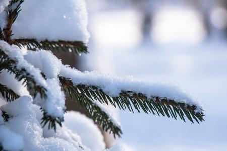 Foto de Snow covered spruce branch in sun light - Imagen libre de derechos
