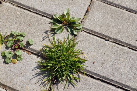 Photo for An annual problem in front of the house. Paving stones with ingrown weeds and grass.  - Royalty Free Image