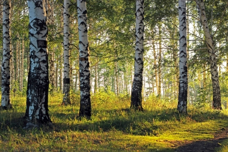 Birch grove with shadows from afternoon sunlight