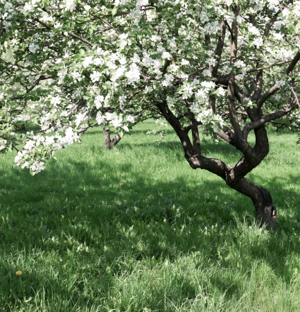 florescence of beautiful apple trees in springtime