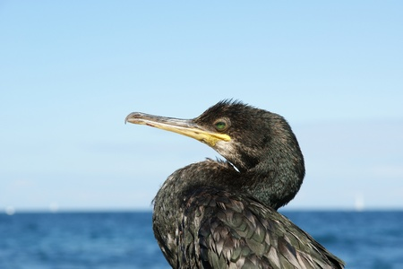 The Great Cormorant (Phalacrocorax carbo), known as the Great Black Cormorant across the Northern Hemisphere, the Black Cormorant in Australia and the Black Shag further south in New Zealand, is a widespread member of the cormorant family of seabirds. It