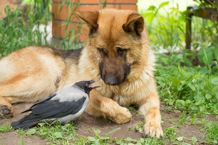 Young Hooded Crow and German Shepherd friendship