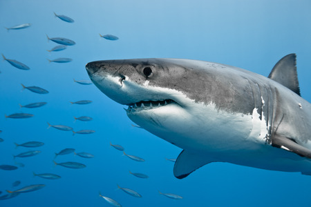 Great white shark - Carcharodon carcharias, in pacific ocean near the coast of Guadalupe Island - Mexico.