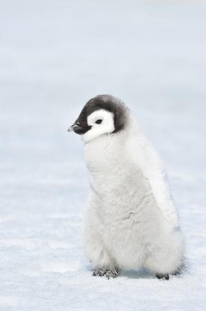 Emperor Penguin chick Snow Hill, Antarctica 2010 on the icebreaker Kapitan Khlebnikov
