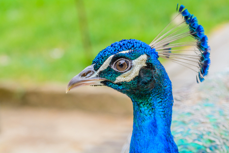 Photo pour Bright head of Peacock with blue feathers on top.Soft focus of male blue peacock head with blurred background - image libre de droit
