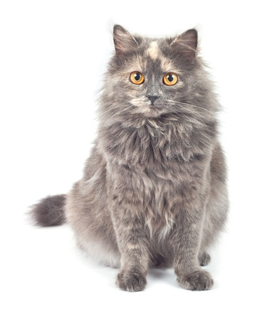 Gray cat on white background.