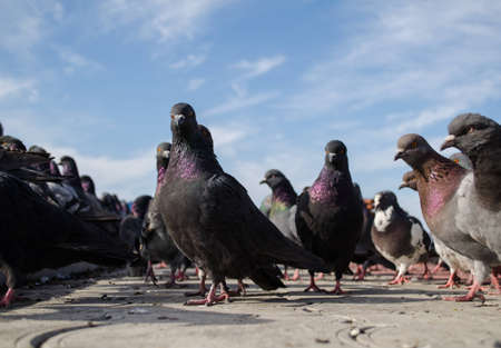 The gang of the pigeons