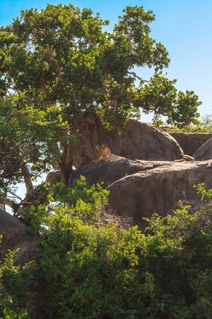 Lazy predator sleeping on a rock. Lioness from the Serengeti, Tanzania