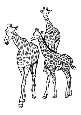 Family of three big giraffes.