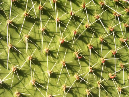 Prickles of a green cactus
