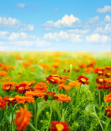 Photo pour field of  flowers against blue sky with clouds - image libre de droit