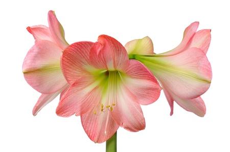 flower of pink amaryllis  isolated on white background