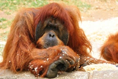 Orangutan in safari park  Central Israel
