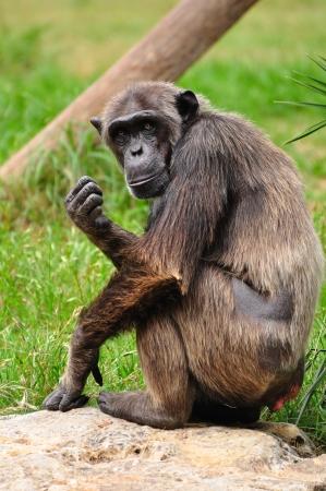 Chimpanzee in safari park  Central Israel