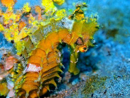 Foto de Seahorse, Indonesia, North Sulawesi, Manado - Imagen libre de derechos