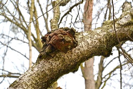 Birch mushroom of a chag (Inonotus obliquus (Ach. ex Pers.) Pil.) on a tree trunk