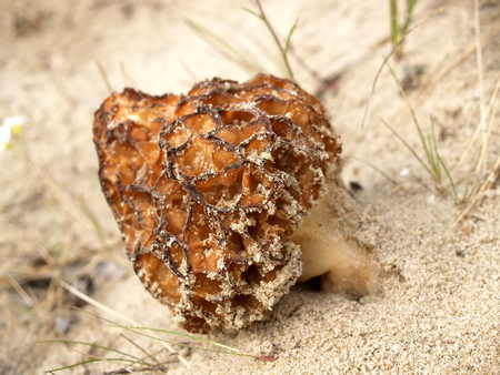 Morel conic (Morchella conica Pers.), growing on sand