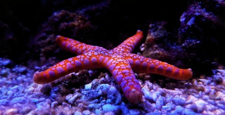 Photo pour Fromia seastar in coral reef aquarium tank is one of the most amazing living decorations - image libre de droit