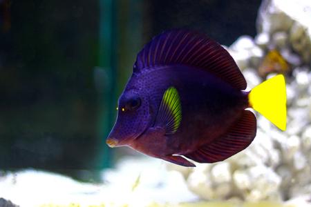 Photo pour Purple Tang - (Zebrasoma xanthurum) - image libre de droit