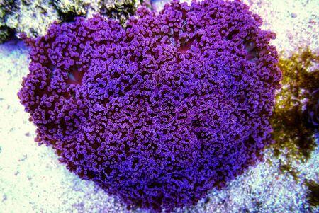 Photo pour Euphyllia Divisa aka Frogspawn LPS Coral - image libre de droit