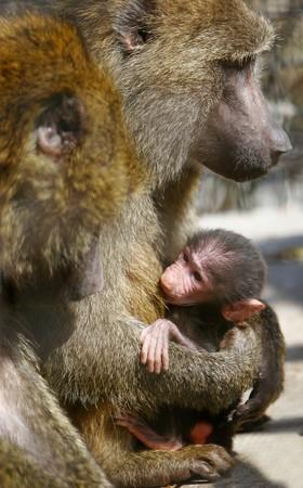 baboon monkey feeding its baby