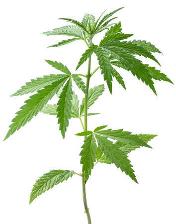 Wild hemp plant. Isolated on a white background.
