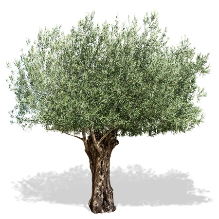 Foto de Olive tree  on a white background. Clipping path. - Imagen libre de derechos