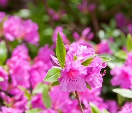 Azalea at spring  selective focus
