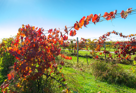 View of vineyard row in autumn  nature background.