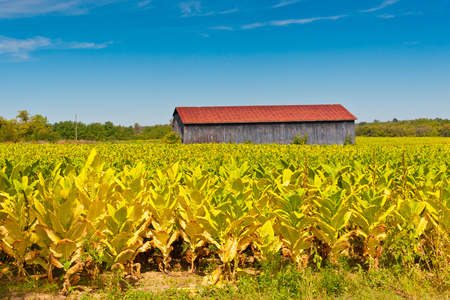 Photo pour Country landscape with barn and tobacco plants field. - image libre de droit