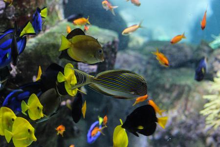 Photo pour Dory fish closeup or Palette surgeonfish inside coral reefs in the blue aquarium - image libre de droit