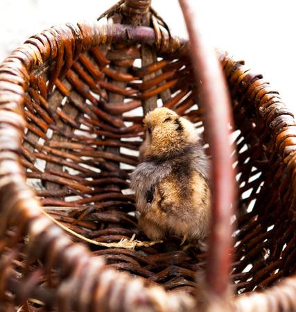 Close-up Little chicken in a brown basket.