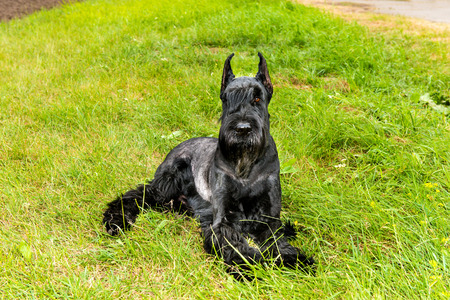 Giant schnauzer lies. The Giant schnauzer is on the grass in the park.