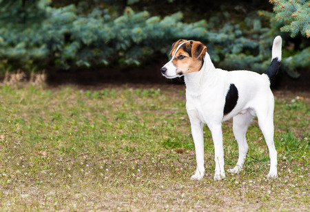 Smooth Fox Terrier stands.  The Smooth Fox Terrier stands in the park.