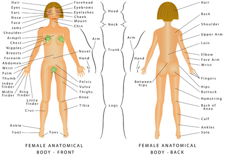 Ilustración de Regions of Female Body. Female body - Front and Back. Female Human Body Parts - Human Anatomy Chart. The anatomical names and corresponding common names are indicated for specific body regions - Imagen libre de derechos