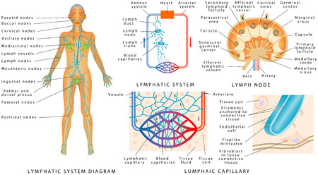 Illustration pour Lymphatic system - Lymphatic diagram in human. Structure of a Lymph Node - organ of the lymphatic system. Fluid exchange between the circulatory and the lymphatic systems. - image libre de droit