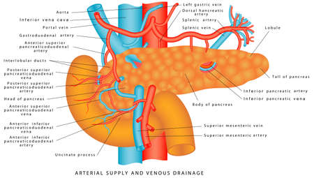 Illustration pour Blood supply of the pancreas. The vasculature of the pancreas. Arterial supply and venous drainage of the pancreas and spleen. Anatomy of the pancreas and upper abdomen. Structure and function of Sto - image libre de droit