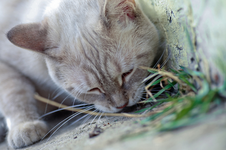 White cat eats grass on the walk. Vitamins for animals. Treatment of animals with herbs.