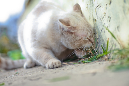 White cat eats grass on the walk. Vitamins for animals. Treatment of animals with herbs. Funny muzzle in a cat.