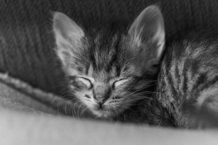 Foto de One little sibling kittens sleep side by side. Cute kitten fed by a man. Sleeping babies kittens. - Imagen libre de derechos