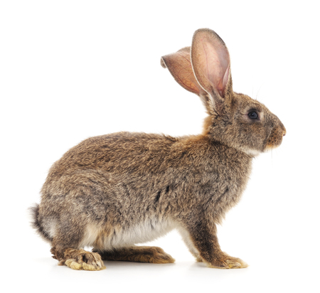 Brown bunny isolated on a white background.