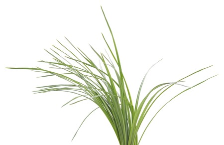 Photo for Bush of green sedges isolated on a white background. - Royalty Free Image