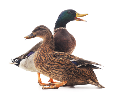 Photo for Large wild ducks isolated on a white background. - Royalty Free Image