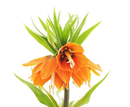 Photo for Beautiful orange flower isolated on a white background. - Royalty Free Image