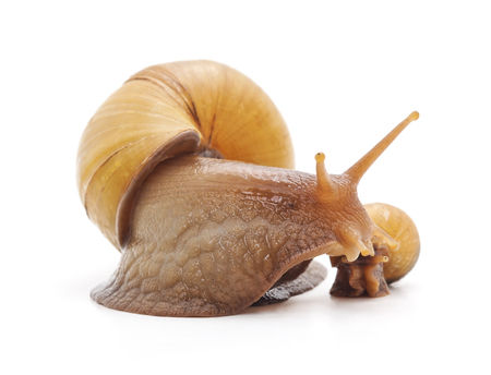 Big and small snails isolated on a white background.