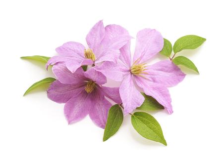 Foto für Bouquet of purple clematis isolated on a white background. - Lizenzfreies Bild