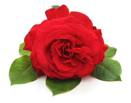 Photo for One red rose isolated on a white background. - Royalty Free Image