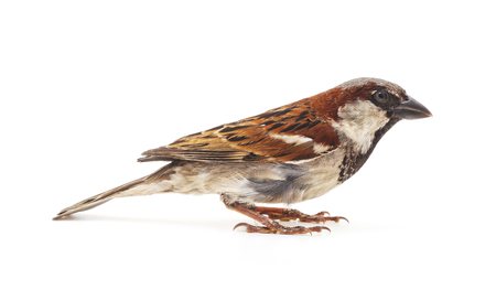 Photo pour One little sparrow isolated on a white background. - image libre de droit